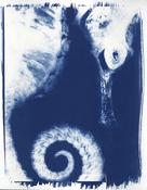 Christine Caldwell, Illuminated Negatives, Photogram, cyanotypes, Sea Horse